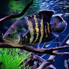"MBL AQUATICS on Instagram: ""Astronotus Orbicularis   Bumblebee oscar🐝 . . #astronotusorbicularis #oscar #cichlid #cichlids #cichlidtank #igcichlids #igfishtank…"" Cichlid Aquarium, Tropical Aquarium, Tropical Fish, Oscar Fish, Freshwater Aquarium Fish, Cichlids, Aquariums, Fish Tank, Fresh Water"