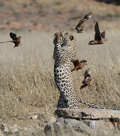 Leopardo (Foto: Caters)