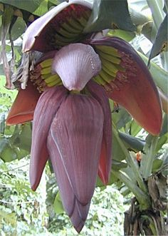 According to Philippine folklore, the heart of the banana tree contains an agimat or magical charm that drops out of it at the stroke of midnight. Whoever catches the charm in his mouth would be endowed with supernatural powers; provided, of course, he survives the kapre, tikbalang and other mystical creatures who would then try to take the charm from him.