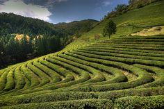 Green Tea near Boseong, Korea