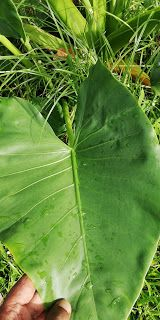 Garden Chronicles : Different Types of Alocasia - Names & Images Garden Labels, Different Types, Types Of Plants, Plant Leaves, Names, Image