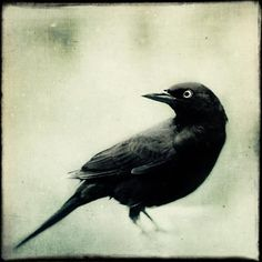 Large Photograph Crow Art Raven Print Gothic by RockyTopPrintShop (Art & Collectibles, Photography, Black & White, Large Photograph, Crow Art, Raven Print, Gothic Art, Halloween Decor, Large Wall Art, Black Bird, Fine Art Photograph, Large Print, Crow Photograph, Raven Art, Gothic Print, Halloween Art)