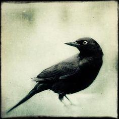 Raven arte conjunto de impresión del arte por RockyTopPrintShop
