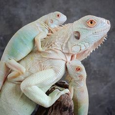 exciting sweet iguana pet beautiful distinctive : Iguanas are very one of the most well-liked reptiles to obtain ever been held as being a pet. Iguanas get stringent providing and real estate wants, c. Iguana Care, Iguana Pet, Big Iguana, Cute Reptiles, Reptiles And Amphibians, Animals Beautiful, Cute Animals, Cute Lizard, Green Iguana