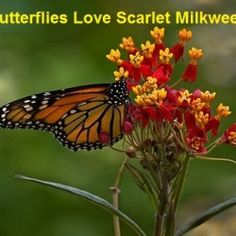 """""""Grow Butterfly Garden With Scarlet Milkweed Flowers"""" - I want it to qualify as a Wildlife Sanctuary."""