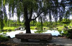 Weeping Willow in the Japanese Garden at the Buffalo History Museum.  Buffalo, NY