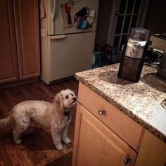 Having a sleepover at my Auntie Colleen's house. Waiting patiently for my morning brew  : @cpopko #rescuedog #dogsofinstagram #rescuepetsofinstagram #yycdogs #dogsofyyc #lacyandpaws #cute #meowvswoof #poogle #poodle #beagle #instadog #instapet #cutedog #mydogiscutest #dogstagram #featureperfectpups #lovedogs #bestwoof #dog_features #cute #coffeetime by miss.matilda.p