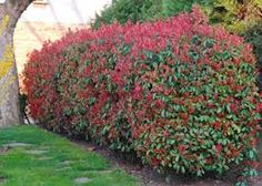 Red Robin...have planted this as a hedge in couple of places around the property...just want it to grow fast!