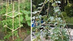 Jardin et jardinage : Nos idées pour tuteurer les plantes grimpantes Elles grimpent, elles grimpent, les tomates, les clématites, les ipomées,