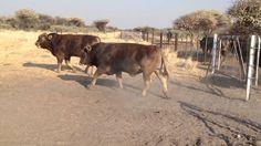 Aurora braunvieh Bulls Namibia