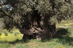 Αποτέλεσμα εικόνας για ΕΛΑΙΟΔΕΝΤΡΑ ΤΗΣ ΚΡΗΤΗΣ Olive Tree, Greece, Plants, Greece Country, Plant, Planets