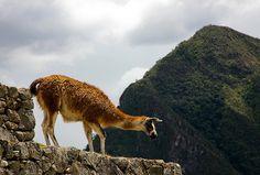 Llama en Machu Picchu, Cuzco, Perú::..*•#~~$??*