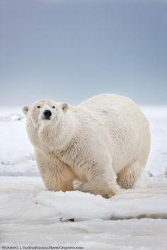 Polar Bear Portrait by Patrick J. Endres @alaskaphotographyblog.com