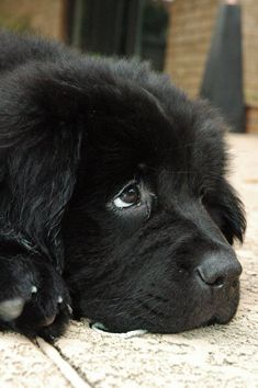 Is there anything cuter than a giant, fluffy Newfoundland? This photo gallery list includes adorable pictures of adult Newfoundlands as well as cute little puppy Newfoundlands. Newfoundlands are a particularly sought after breed for their work dog ethic and loyalty. Whenever you are feeling d... #NewfoundlandDog