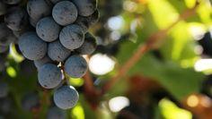 Uva Bonarda - Segunda opção no paladar Argentino. Vinhos com frescor, acidez vibrante, fruta fresca e taninos suaves. Vai bem com pratos de temperos fortes.