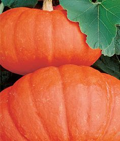 Pumpkin, Rouge Vif d'Etampes - slightly flattened, heavily ribbed, 12 - 18 inches, 10 - 30 pounds, for autumn display, scarlet