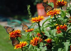 monarchs.JPG (flowers insects ). Photo by cedar13