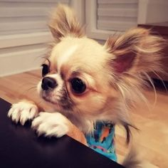 Cute Chihuahua, Chihuahua Puppies, Pictures Of Chihuahuas, Chiwawa, Chucky, Chi Chi, Love Pictures, Love People, My Baby Girl