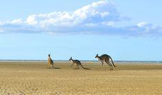 Kangaroos playing on Toogoom Beach, Hervey Bay Queensland