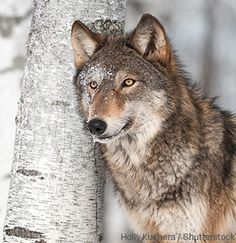 Earth justice, donate to help protect our wild wolves. Idaho wolves are back in the crosshairs of Hunters sights. We have to keep the fight up to save them.