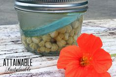 """Surprise! You can make your own """"capers"""" with nasturtium seed pods. These are lacto-fermented for a mellow pop that you can add to salads and other dishes."""