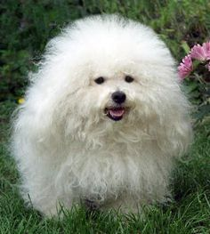 This type of dog is called a Bolognese! Now I understand why I see so many of these around here, we live so close to Bologna!