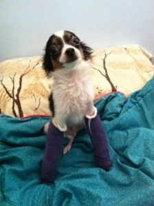 This poor little guy named Kenny G was a victim of abuse. His wee little legs are being fixed so he can walk and have a normal life. Help out the little muffin by donating to his cause! http://onedogrescue.org/