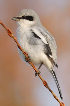 Northern Shrike - Lanius excubitor; Europe, Asia, North America. Photo by Patrick Donini.