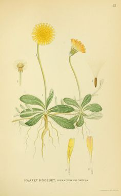 Hieracium pilosella ~ by A. Börtzells