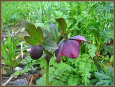 Helleborus orientalis Red Hybrids
