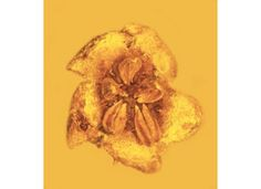 New Species of Prehistoric Flower Discovered Preserved in Amber    /smart-news/new-species-prehistoric-flower-discovered-preserved-amber-