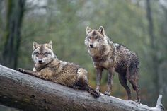 Two brown wolves posing on a log!