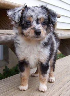 Australian Shepherd/ Poodle hybrid. Adorable!!!