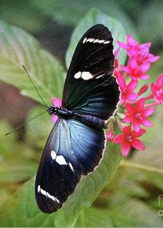 Sara Longwing Butterfly by TN Fairey