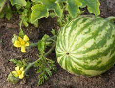 Wassermelonen anbauen im eigenen Garten - so geht's