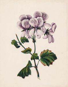 Violet Pelargonium, from a Victorian scrap album, botanical watercolor, late 19th century.