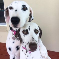 dalmations in love