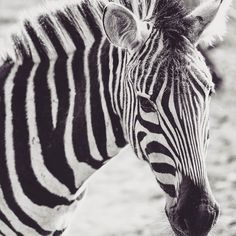 Animal themed week. #zebras #animalkingdom #animalphotography #natgeo #Africaphotography
