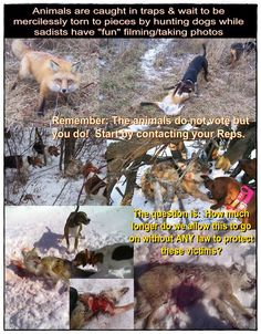 SPEAK UP-SPEAK OUT AGAINST THIS BRUTAL SAVAGERY!  Apart from being cruelly killed for their pelts, fur bearing animals in the US are also torn to pieces while still alive so unevolved sub- humans can enjoy the show. Please Sign & Share!