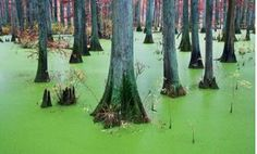 Only in Cache River State, Illinois do you see breathtaking swamps of an exotic green color. Best of all flights from Los Angeles start att about 300 dollars! This wetland an be explored by canoe and you never know what animals are hidden in this paradise.