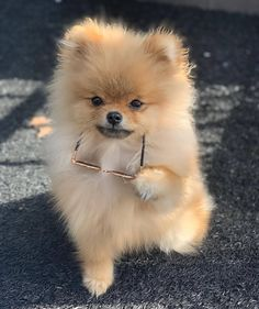 Pomeranian admirer dog lover on is that you homie credits pablopomeranian pom puppies for reservations interested dm pomeranian_admirer paid featured promotions so adorable puppy Super Cute Puppies, Baby Animals Super Cute, Cute Baby Dogs, Cute Little Puppies, Cute Dogs And Puppies, Cute Funny Animals, Doggies, Cutest Dogs, Cute Pets