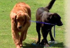 An amazing story!  A Golden Retriever who was blind and experiencing seizures at 2 yrs old meets a shy former gunshot victim stray and together they empower one another. The stray becomes confident and takes up the job of being a blind dog's seeing eye dog. The blind dog has companionship and the seizures are going away. Tugs at my heart strings!!