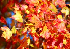 Landscape Plant Pictures: Photos of Fall Foliage Trees