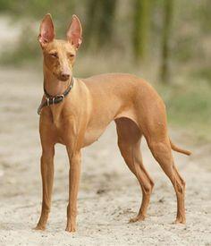 Cirneco dell Etna dog photo | Cirneco Dell Etna breed info,Pictures,Characteristics,Hypoallergenic ...