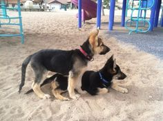 German Shepherd puppies at the park! CANT WAIT FOR MY FUTURE LITTLE BABY TO COME TO ME gonna bring her to parks all the time