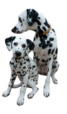 cute dalmatians......