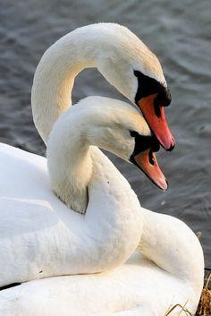 Swans embracing