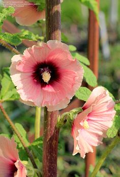 halo apricot hollyhock