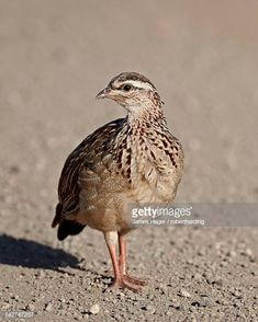 View top-quality stock photos of Crested Francolin Kruger National Park South Africa. Find premium, high-resolution stock photography at Getty Images. Kruger National Park, National Parks, South African Birds, Still Image, Stock Photos, Photography, Photograph, Fotografie, Photoshoot