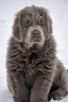 Platinum Newfoundland... I'm in love